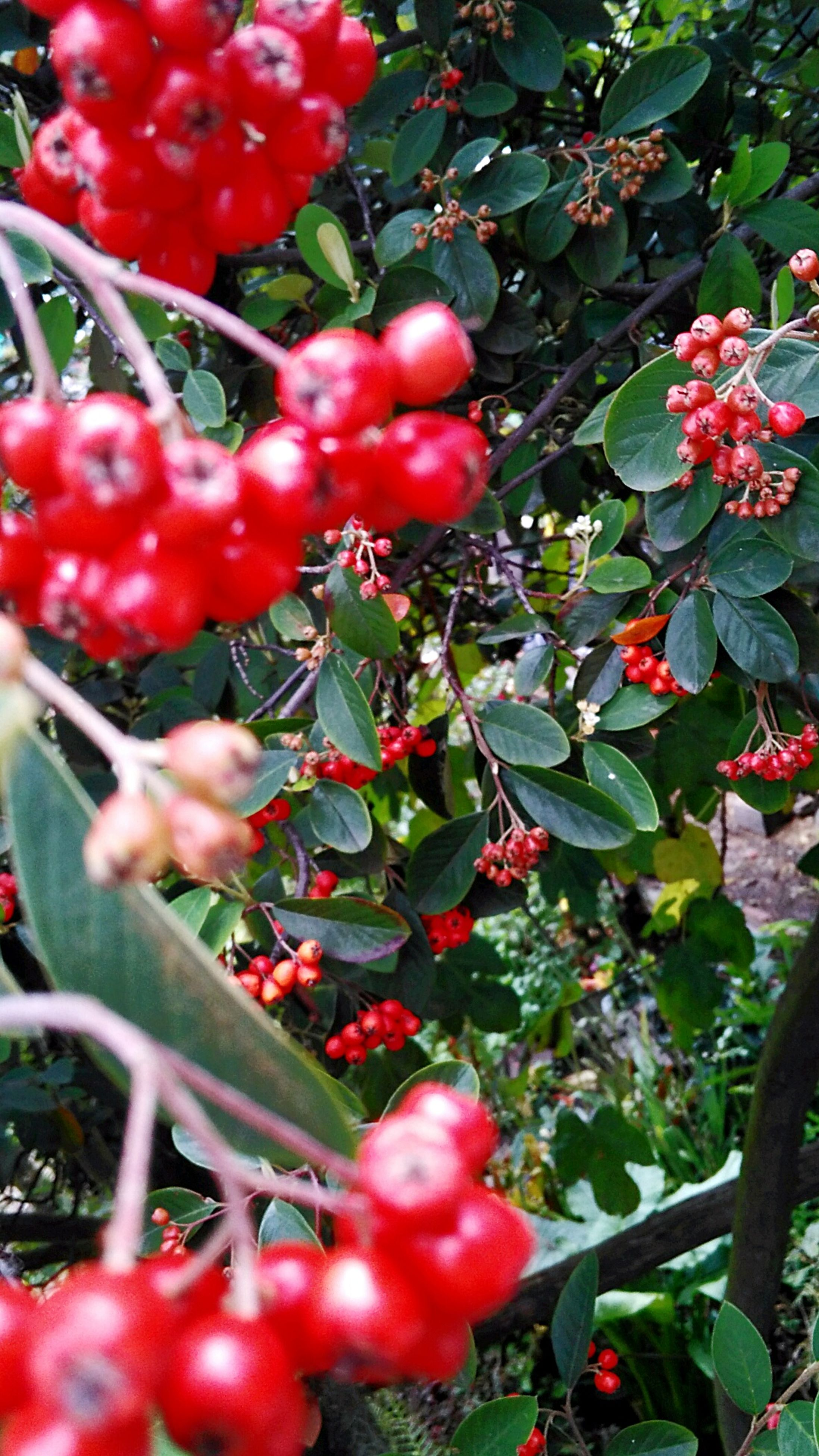 fruit, red, growth, food and drink, food, freshness, tree, healthy eating, nature, growing, day, outdoors, leaf, agriculture, no people, rowanberry, ripe, plant, green color, branch, close-up, beauty in nature