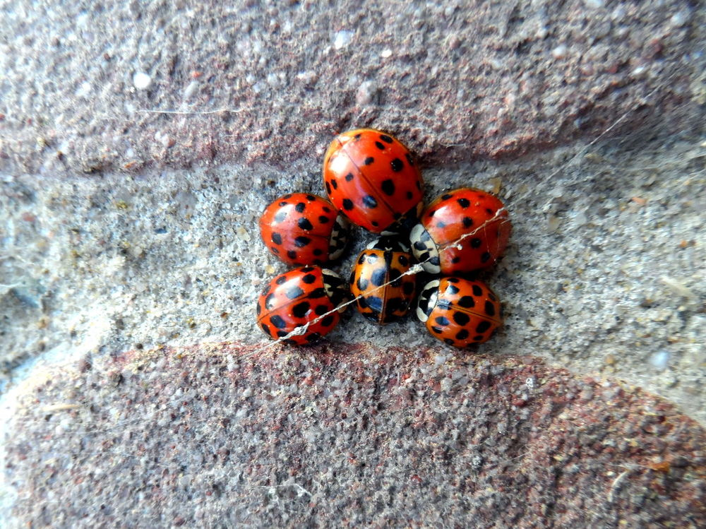 Lady's round table: wzzz, wzzz, wzzz, wzzz, wzzz: 6 legs, 6 ladybugs.... Animal Themes Animal Wildlife Animals In The Wild Black And Red Brick Wall Close-up Cluster Coccinelle Coccinellidae Day Harmonia Axyridis Hibernate Hibernation High Angle View Insect Ladybird Ladybirds Ladybirds 🐞 Ladybird🐞 Nature No People One Animal Outdoors Overwintering Spider's Thread