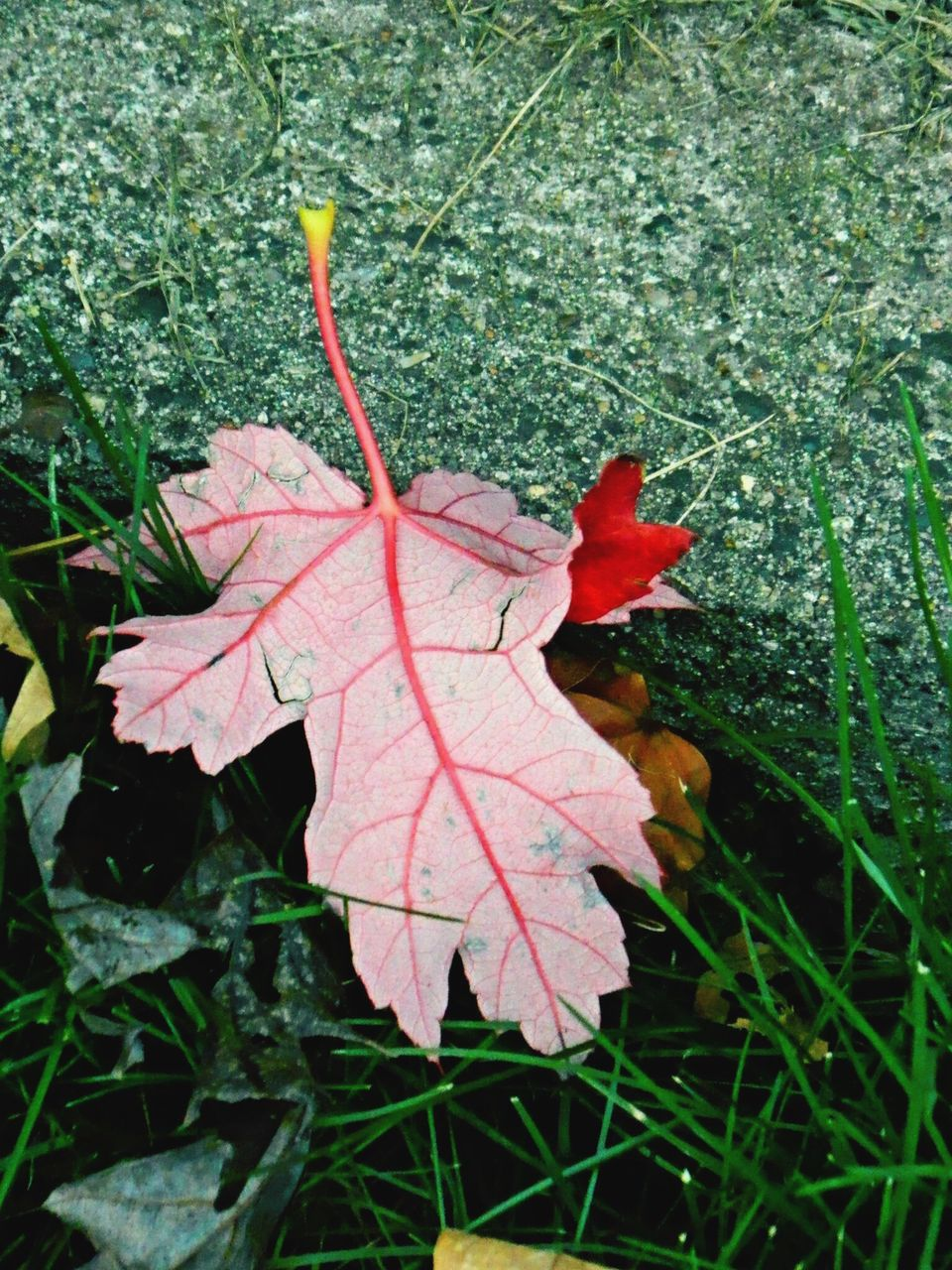 leaf, autumn, change, dry, day, nature, maple, maple leaf, outdoors, no people, close-up, beauty in nature, fragility, grass