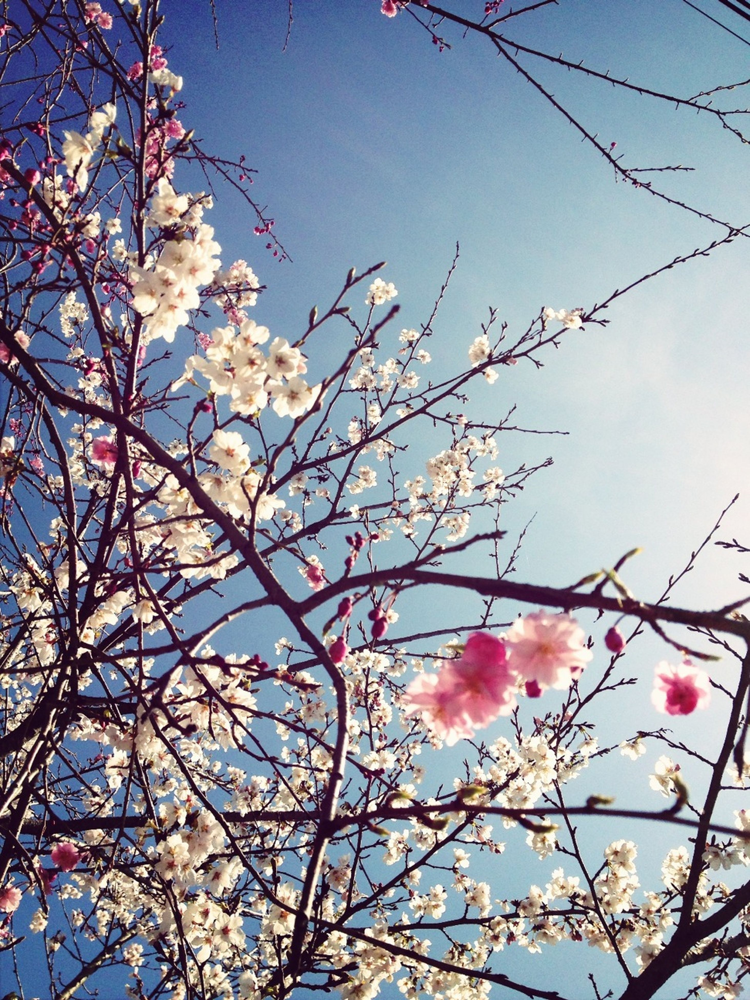 branch, flower, low angle view, tree, freshness, growth, fragility, beauty in nature, blossom, clear sky, nature, sky, cherry blossom, springtime, petal, blue, blooming, twig, cherry tree, in bloom