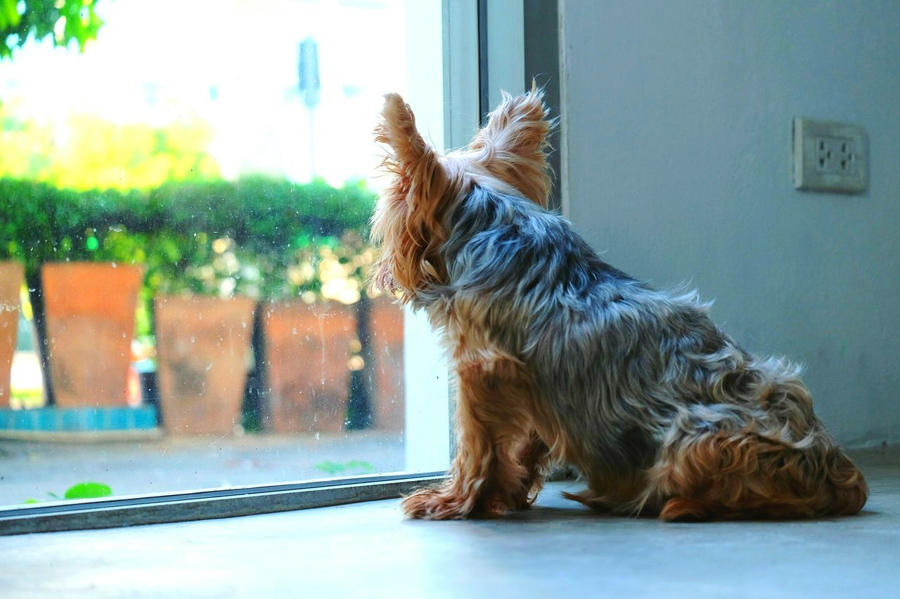 Pets Dog Yorkshire Terrier Stand Up Wait Waiting Hope Looking