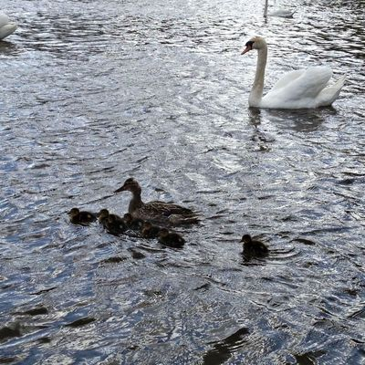 ducks at The Waterworks, Antrim Road, Belfast by Gerard