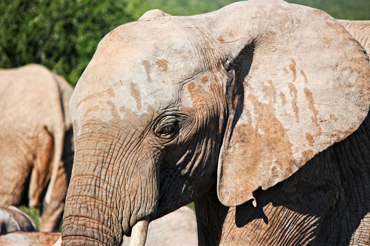 elephant, animals in the wild, animal wildlife, african elephant, animal body part, animal trunk, tusk, safari animals, animal, one animal, outdoors, animal themes, nature, day, no people, close-up, mammal, elephant calf, beauty in nature