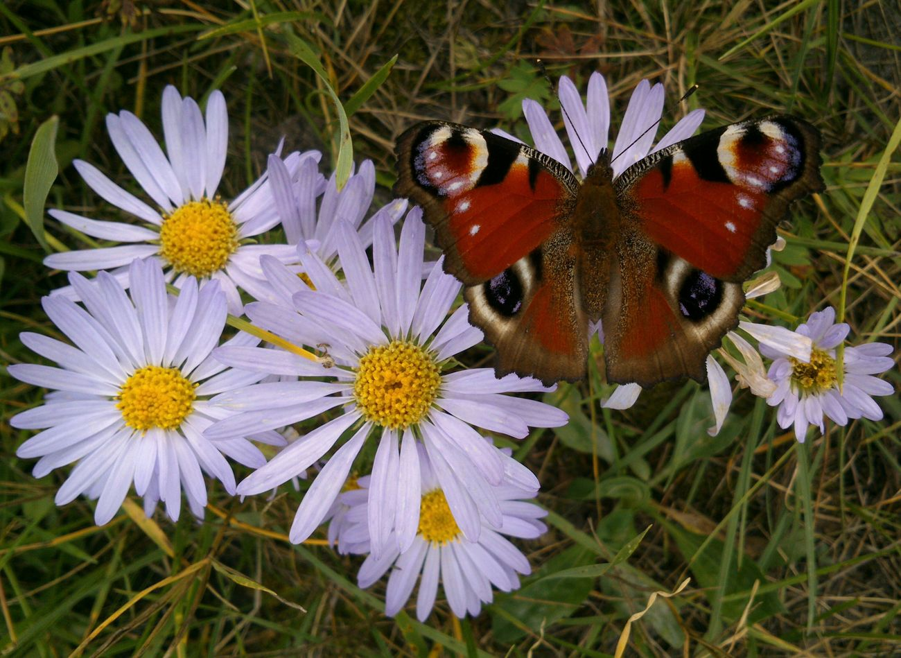 There's no any photo editing. Без фоторедактирования. павлиний глаз и Ромашки. The Emperor Moth on the blue Camomiles. Chamomiles Ox-eye Daisies Butterfly Papillon Papillon Paon Balancing Act