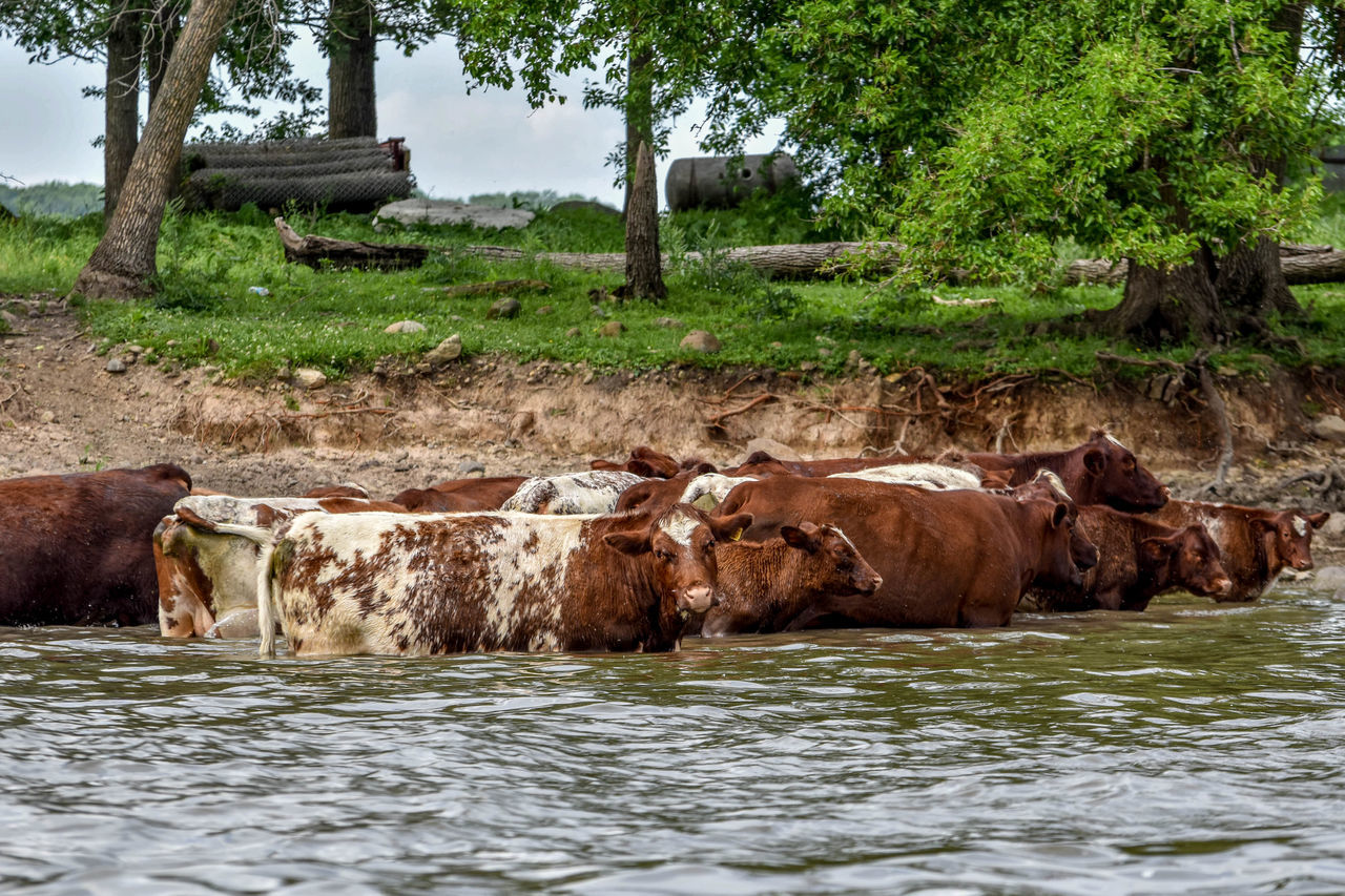 mammal, animal themes, no people, nature, water, livestock, day, domestic animals, outdoors, tree, cow, animals in the wild, grass