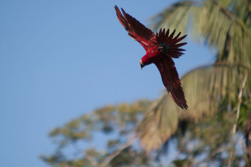 Beautiful stock photos of parrot, Animal Themes, Animals In The Wild, Bird, Clear Sky