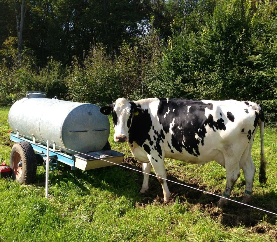 Wo ist die Schweizer Kuh? No Filter
