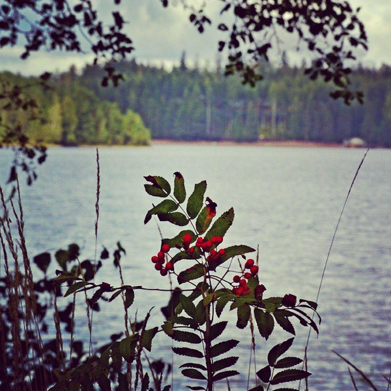 Finland Suomi Saimaa Bush berry lake Финляндия Саймаа озеро кусты
