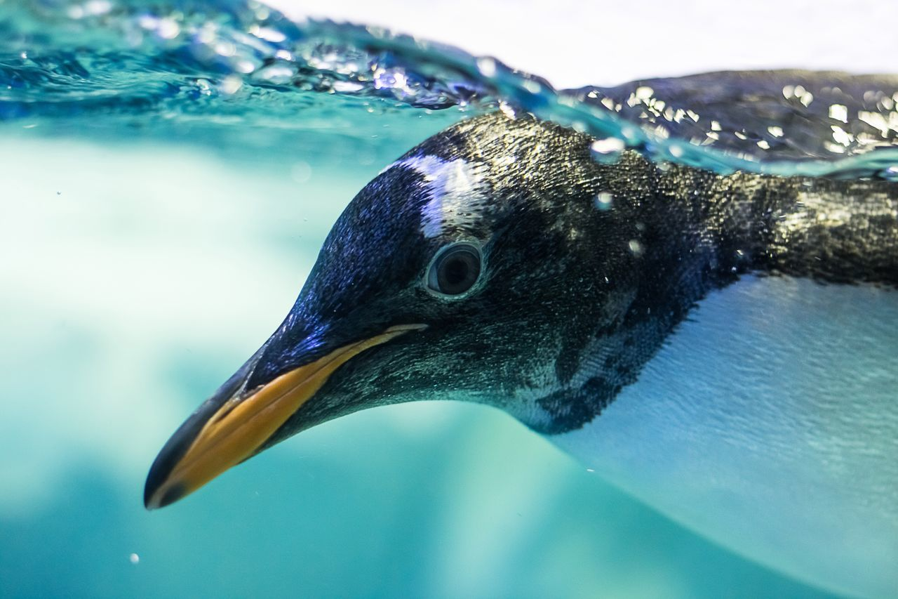 Beautiful stock photos of pinguin,  Animal Themes,  Animal Wildlife,  Animals In The Wild,  Blue