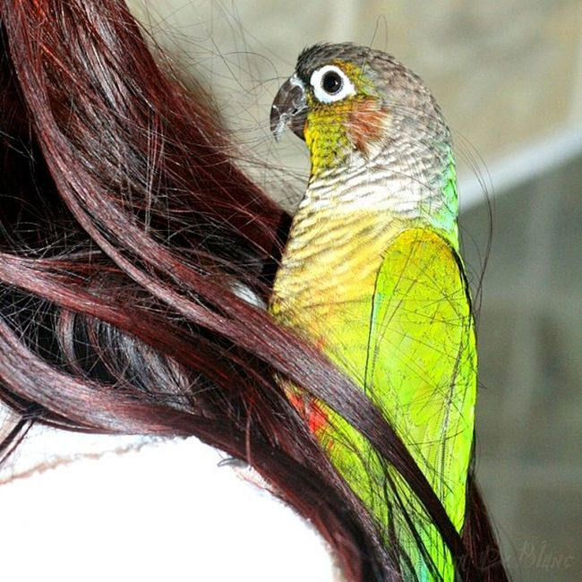 """Oscar preening mommy's hair for """"split ends"""".. :D #hair #bird #conure #pets #parrots #henna Hair Pets Bird Henna Conure Parrots Jj_forum_0603 Bbb_nio"""