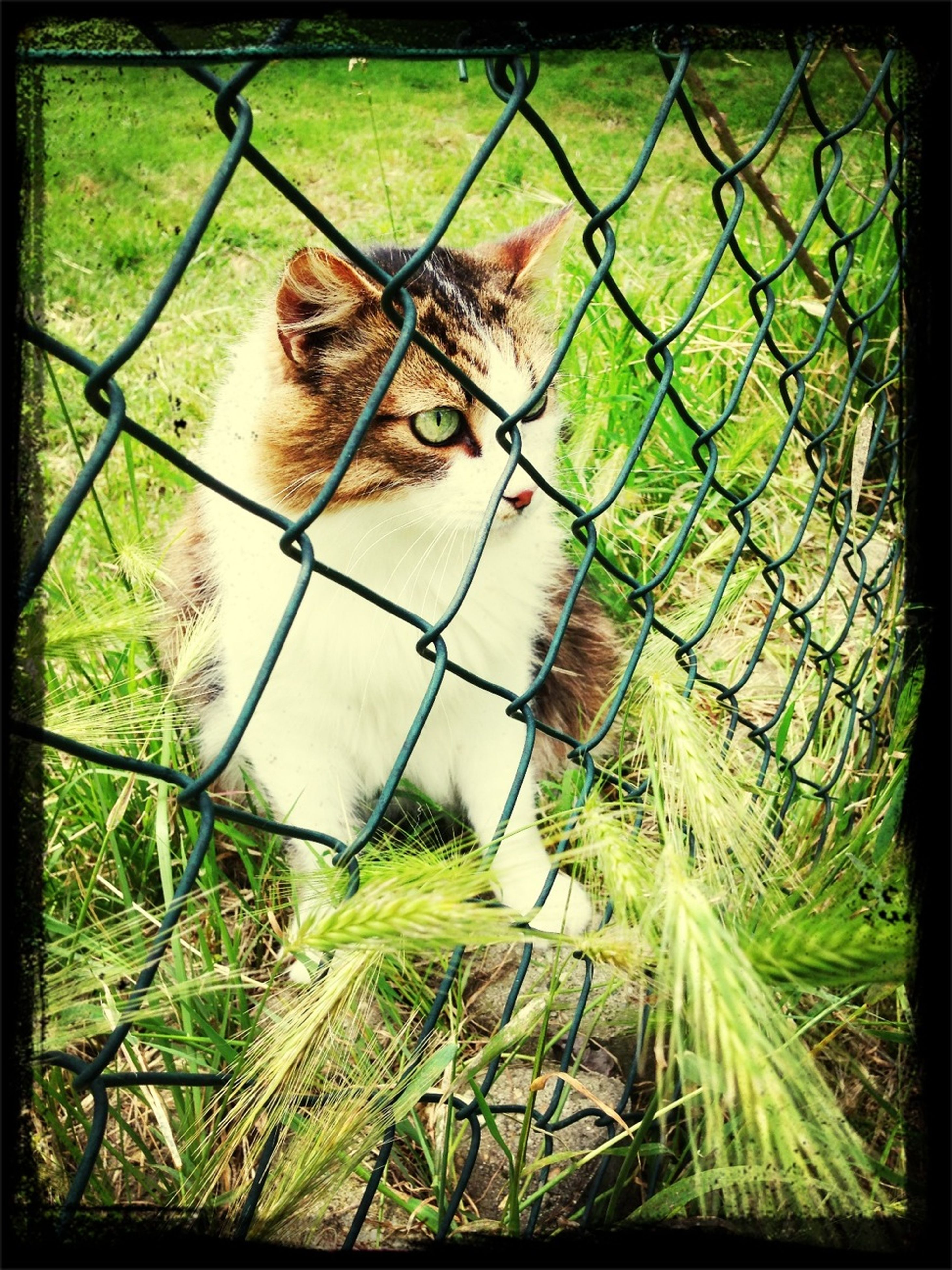 animal themes, domestic animals, mammal, one animal, pets, grass, fence, chainlink fence, field, transfer print, auto post production filter, dog, domestic cat, grassy, cat, plant, day, no people, nature, outdoors