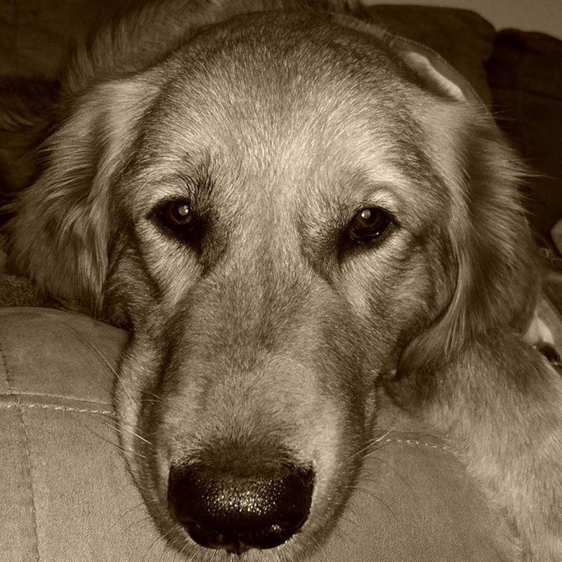 Chase Goldenretriever Golden Mydogisbetterthanyours Instadog Instagolden Sweet PuppyFace Puppy