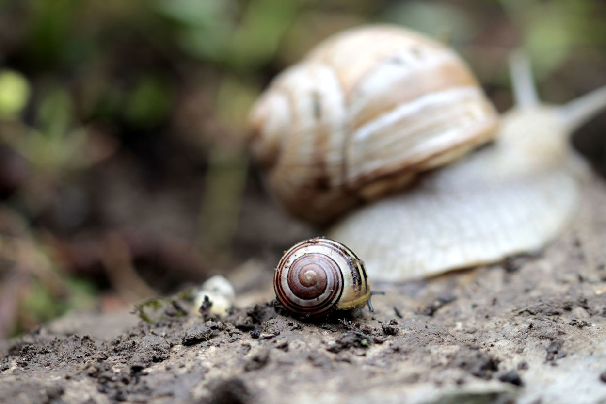 Animal Shell Close-up Crawling Day Focus On Foreground Gastropod Invertebrate Man Made Object No People Outdoors Selective Focus Single Object Snail Snails Surface Level Vineyard Snail Weathered Weinbergschnecken Zoology