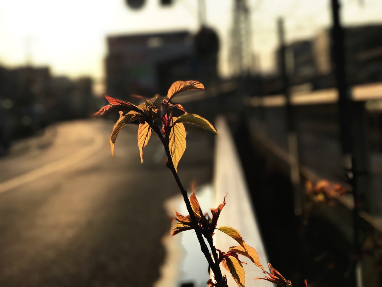 New leaves of cherry tree Focus On Foreground Beauty In Nature Growth IPhoneography Cherry Tree Leaves Sunset Sunset Silhouettes IPhone7Plus Portrait Mode