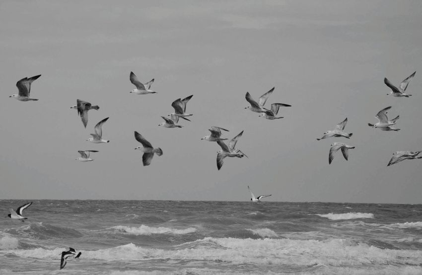 Bird Flying Animal Wildlife Animals In The Wild Nature Animal Flock Of Birds Water Outdoors Animal Themes Sea Sky Beauty In Nature Seagulls In Flight Seagull Baie De Somme  Marquenterre