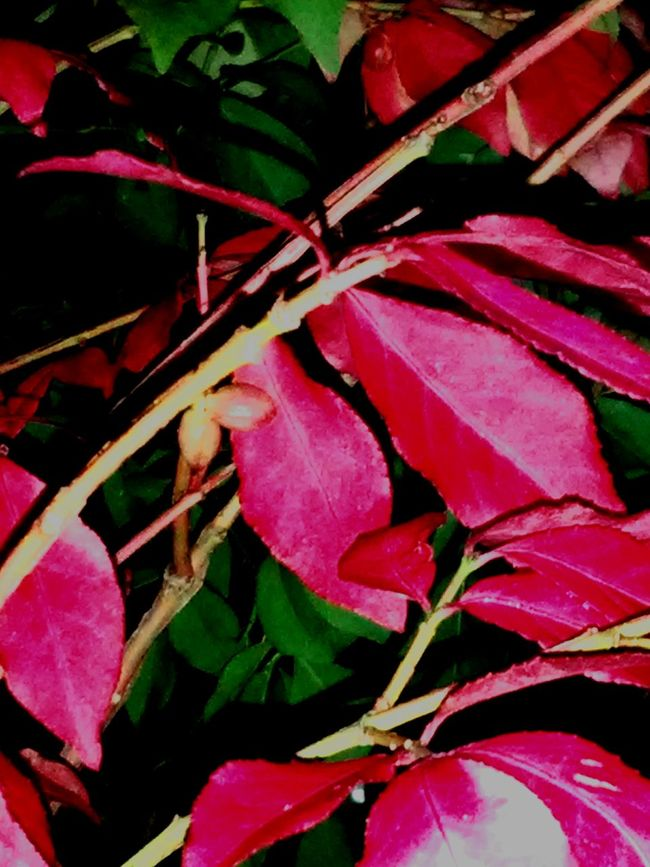 Red Leaves Autumn🍁🍁🍁 Autumn Colors Close-up Beauty In Nature Red Leaves Closeup Leavesporn Leaves_collection Outdoors Cool Night Air Check This Out Hello World ✌ Autumn 2016 Taking Photos Outdoors Photograpghy  Outdoor Beauty Beauty In Nature Leafporn Leafphotography Michigan Pretty♡