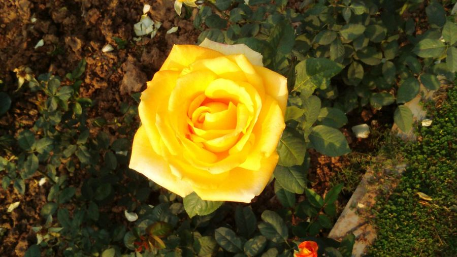 Beautiful Shades Of Nature Yellow Rose At Rose Garden Showcase March