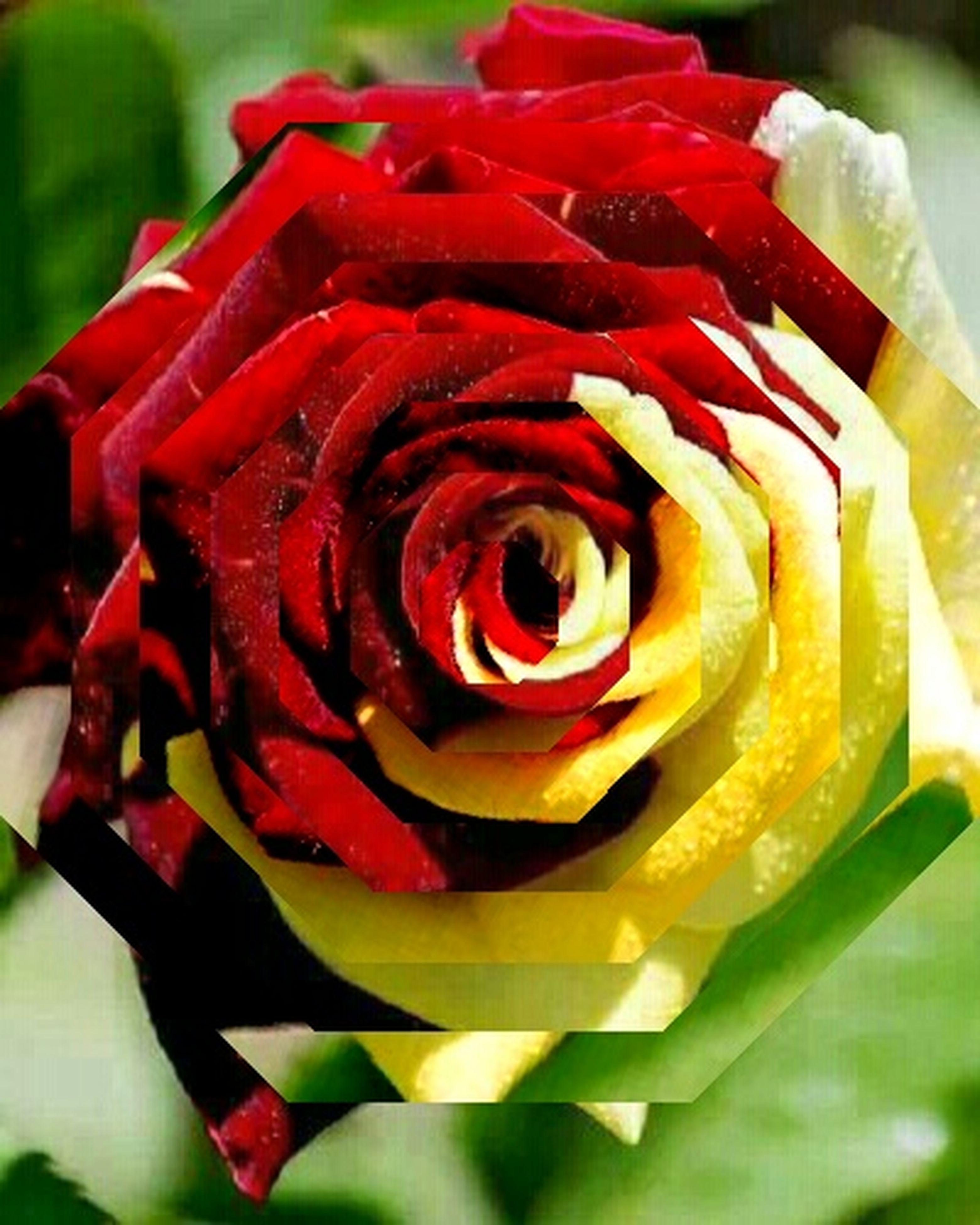 flower, petal, freshness, rose - flower, flower head, close-up, focus on foreground, fragility, red, beauty in nature, single flower, rose, blooming, nature, growth, single rose, no people, indoors, plant, selective focus