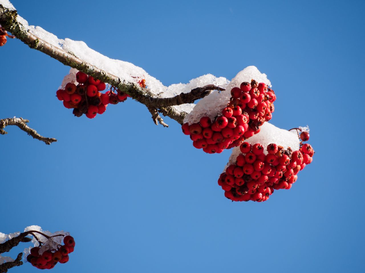 Red No People Snow Berries Berries On A Branch Fruits Winter Blue Sky Day Freshness Nature Beauty In Nature Branch Scenics Sun Outdoors Sky Blue Clear Sky Sunlight EyeEmNewHere