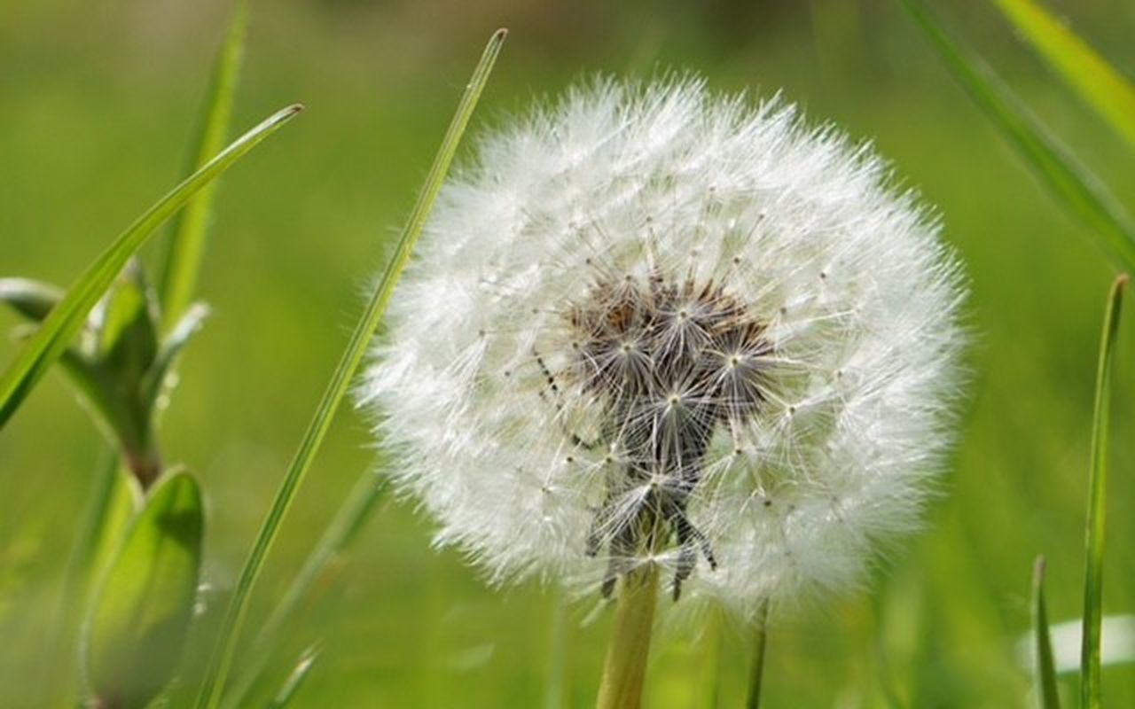 Beauty In Nature Close-up Dandelion Day Flower Flower Head Focus On Foreground Fragility Freshness Grass Growth Nature No People Outdoors Plant Springtime Uncultivated Wildflower