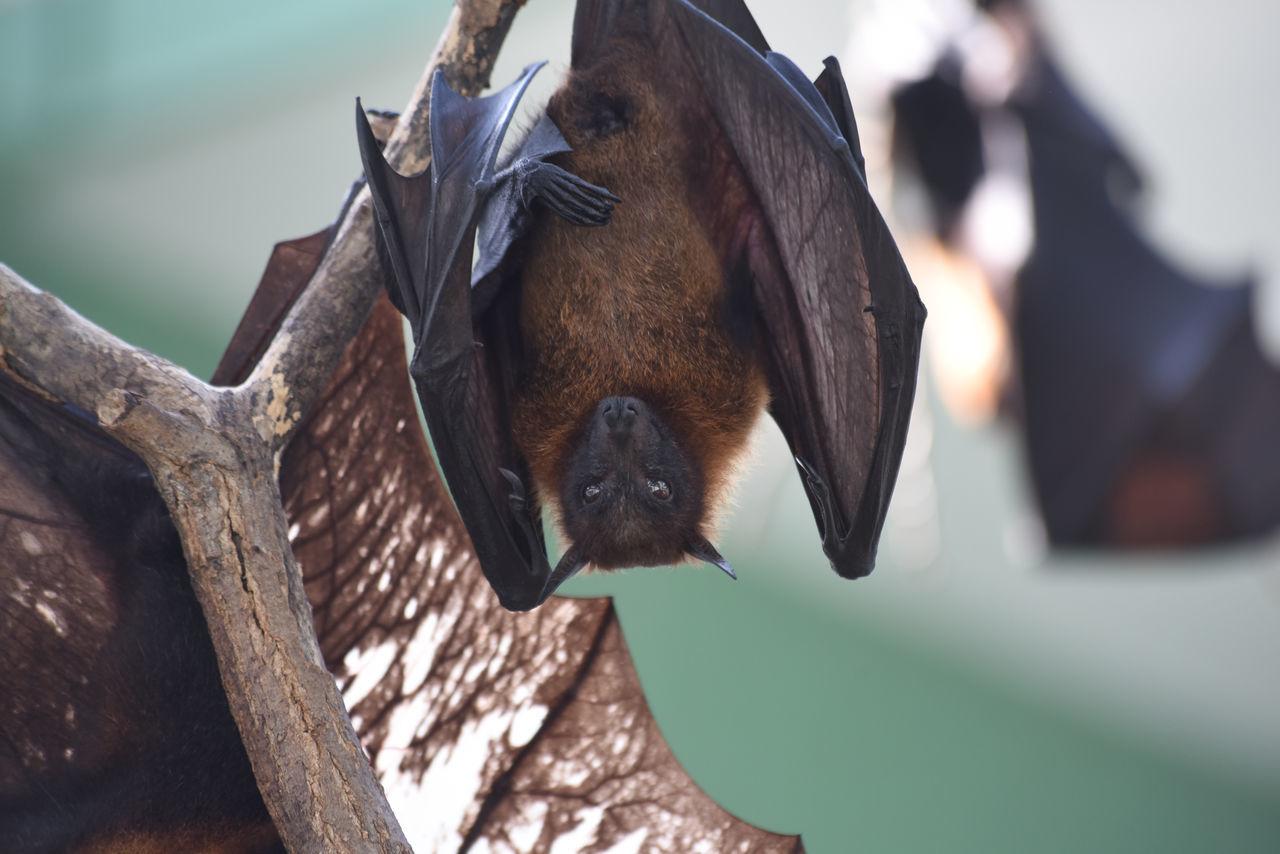 Bat EyeEm Best Shots Fledermaus