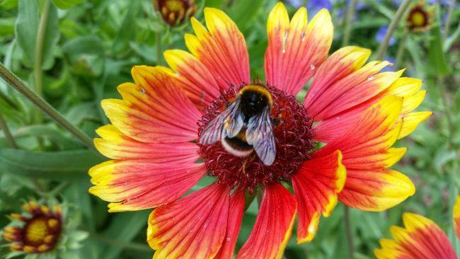 Biene Bee Animal Little Animal Eating Blume Honig Hummel Red Yellow Green Nature Garden Black Wonderfull Umwelt Liebe Umgebung Bergen Naturverbunden Love The Nature Honey