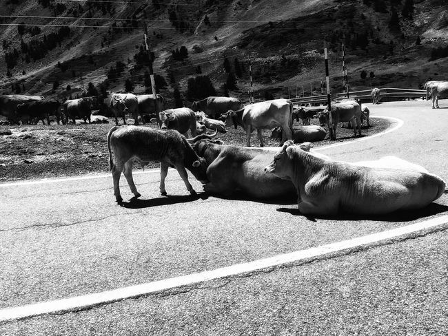 On the road.... EyeEm Best Shots Taking Photos Beauty In Nature Animals EyeEm Gallery Tadda Community Mountain_collection Blackandwhite Black And White