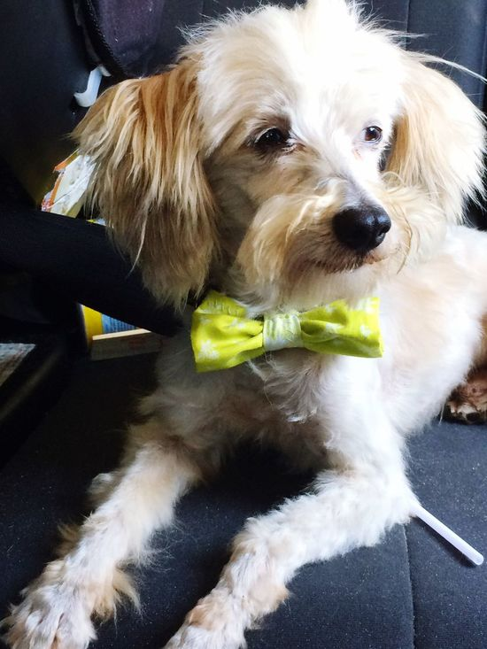 Chinese Crested Powder Puff Bow Tie Dog Pets