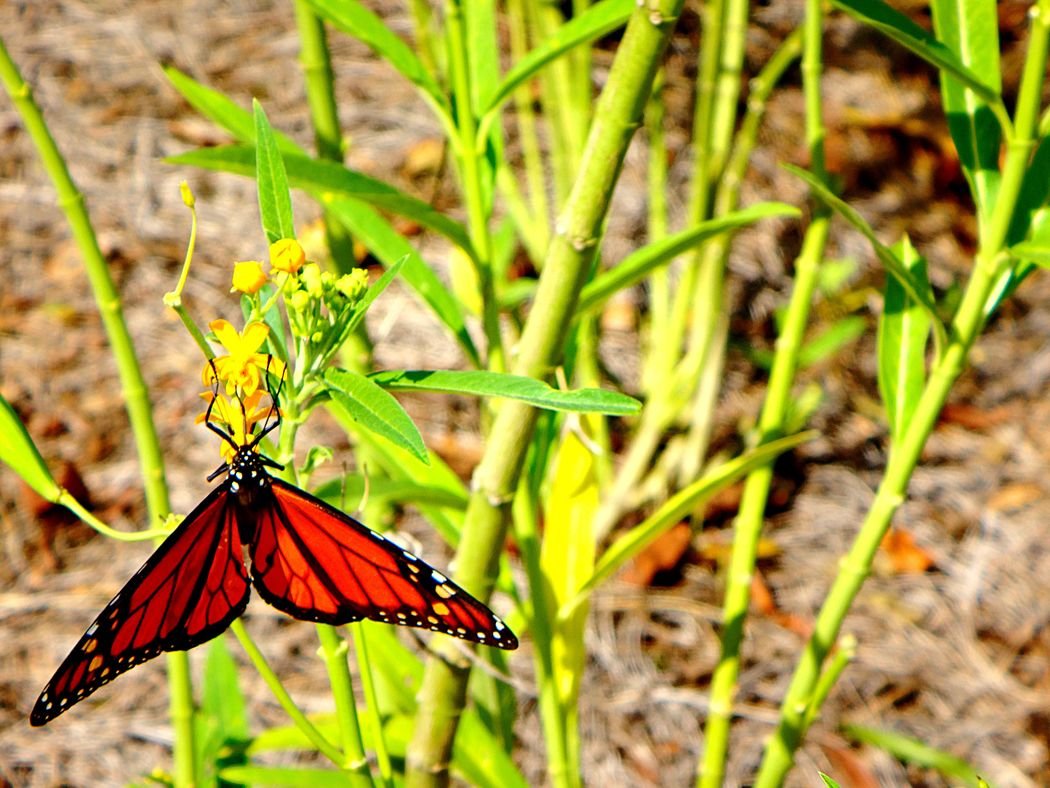 Monarch Butterfly Butterfly Yellow Flower Insect Photography Animal_collection Animal Photography EyeEm Nature Lover Small Things Check This Out WOW Close-up Butterflies Pollenation Orange Butterfly Springtime New Orleans Crescent Park Smell The Roses Look Closer
