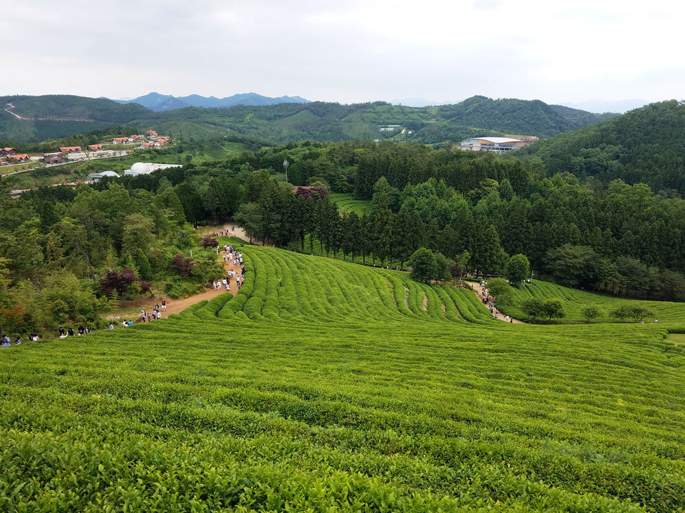 Korea Boseong Green Beauty In Nature Day Field Grass Green Color Green Tea Field Landscape Mountain Nature Scenics Sky Tranquility