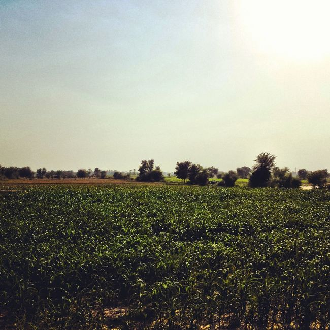 Agriculture Beauty In Nature Day EyeEm Nature Lover Field Grass Grassy Green Color Growth Its Me Landscape Nature No People Outdoors Pakistan Photography Plant Rural Scene Sky Summer Sun Sunlight Tranquil Scene Tranquility Tree