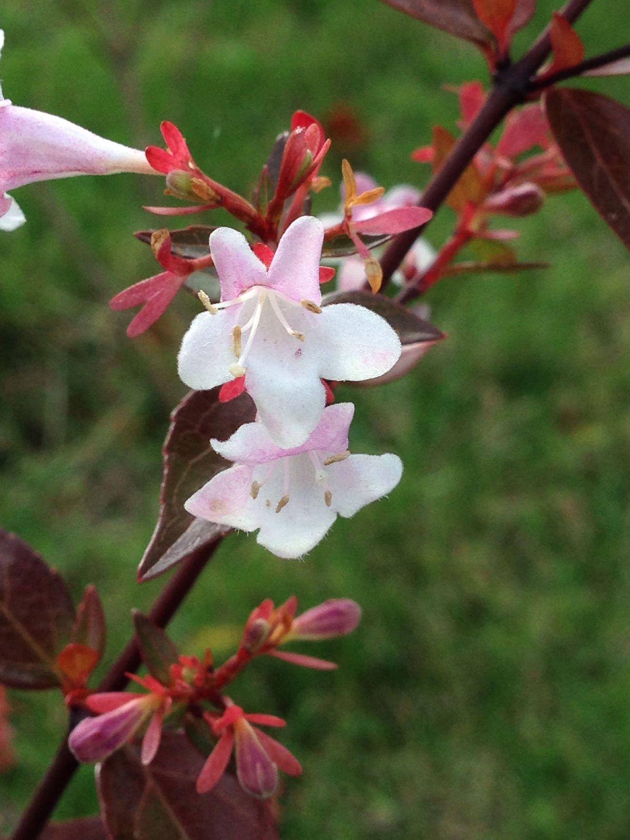 Prunus Nature Arbre Tee