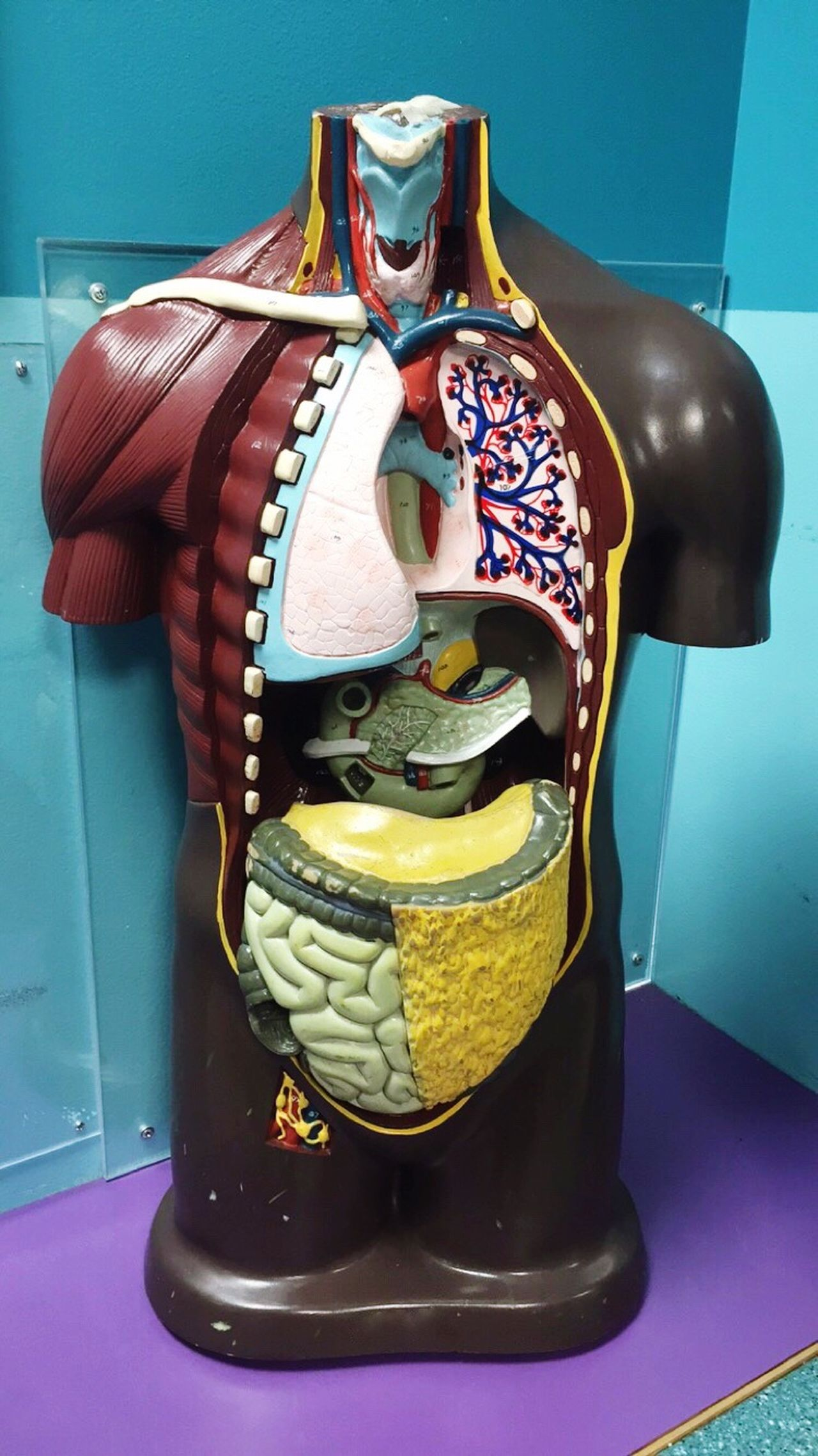 Organs Science Health Biology Biology Class Medical Close-up Disection Organ Donation Intestines Education Lungs Body Anatomy Anatomy Class Human Body Medical Body Medical School Medical Study