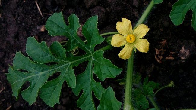 Цветок арбуза