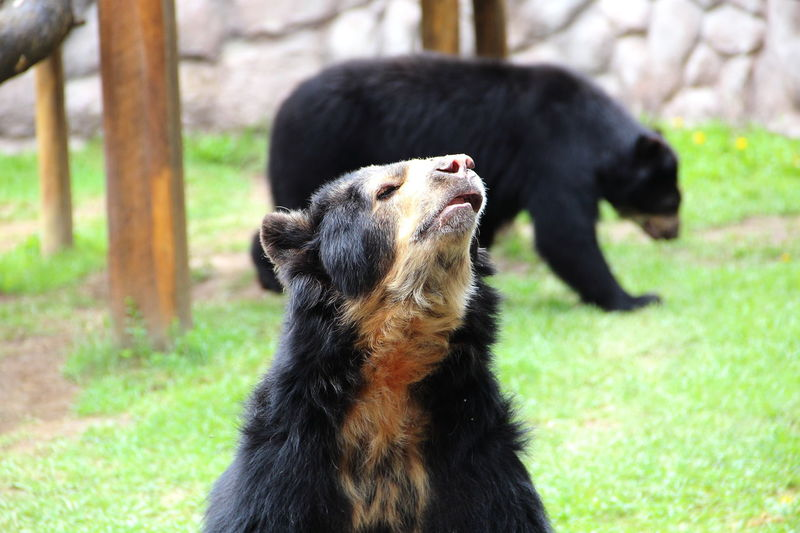 Animal Themes Close-up Focus On Foreground Mammal Nature One Animal Oso Andino Oso De Anetojos Spectacled Bear Tremarctos Ornatus