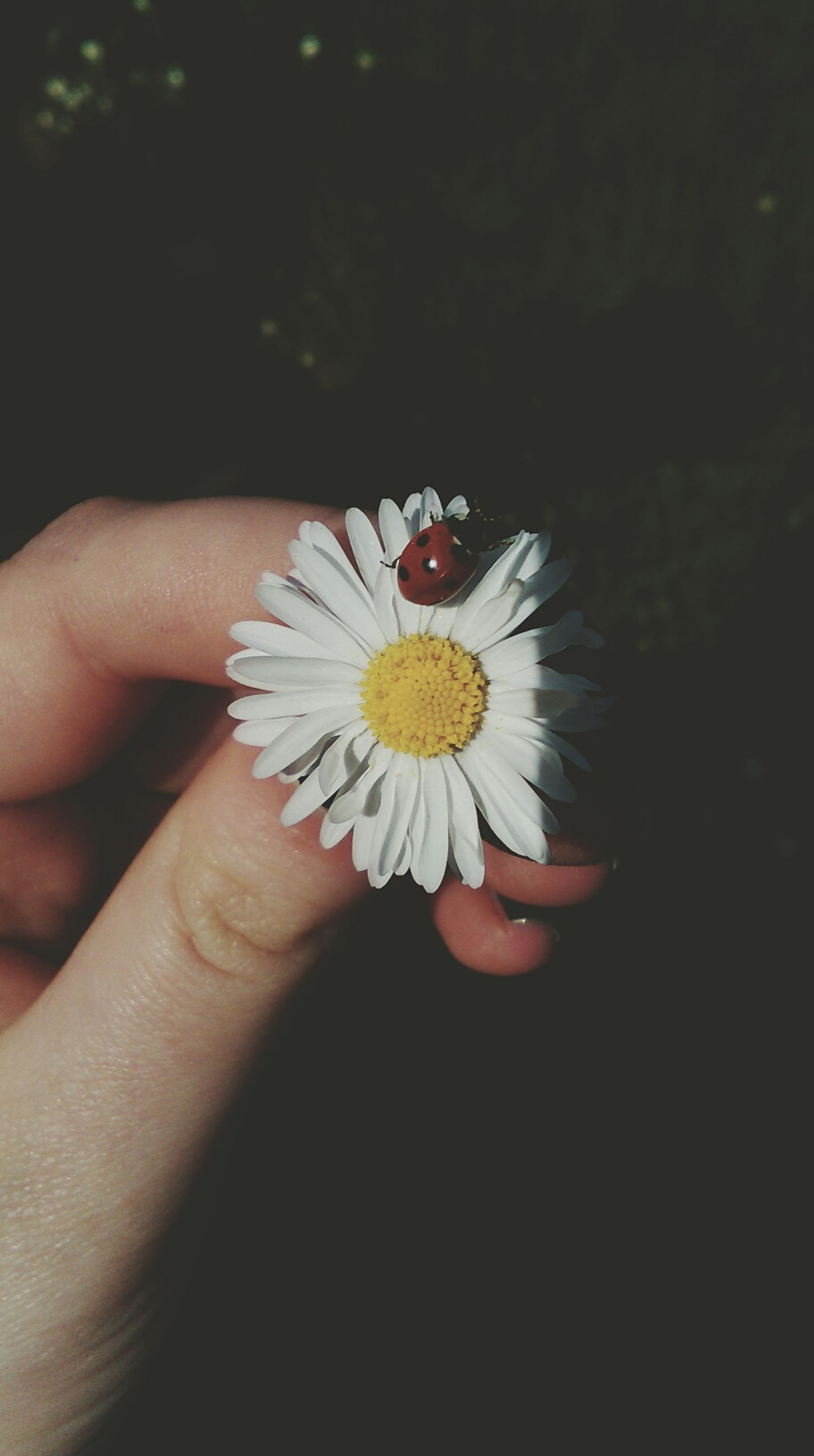 flower, person, petal, flower head, holding, fragility, freshness, single flower, part of, human finger, cropped, daisy, pollen, white color, close-up, unrecognizable person, beauty in nature