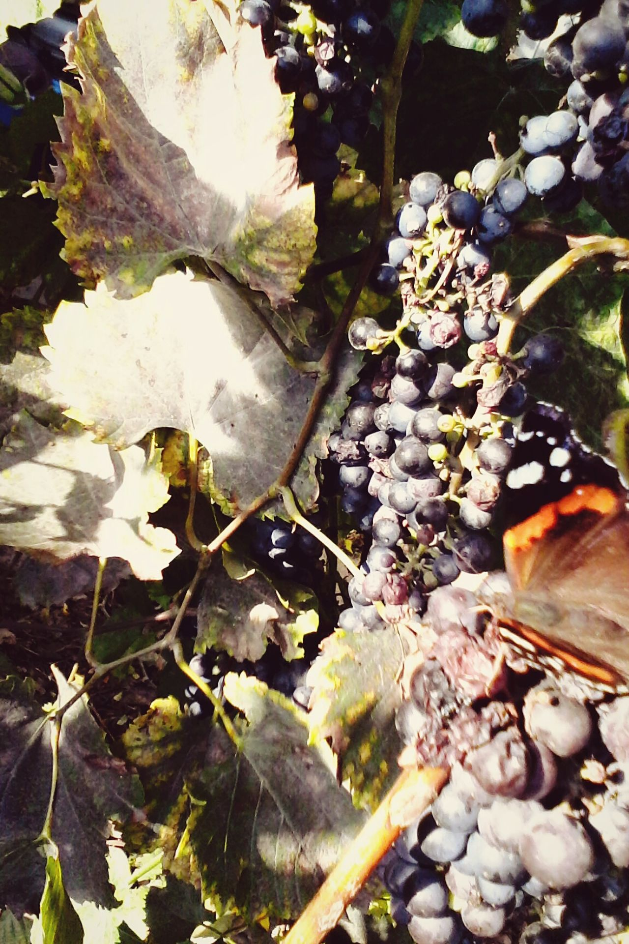 Beauty In Nature Nature Outdoors Butterfly Grapes Edited By @wolfzuachis Butterfly Eating Grape's Juice Autumn @wolfzuachis Ionitaveronica Wolfzuachis Showcase: October Showcase: 2016 Eyeem Market Butterfly Eating Fruits Slowfood Vineyard Colorful Butterfly - Insect Butterfly Collection Multi Colored Insect Dramatic Angles
