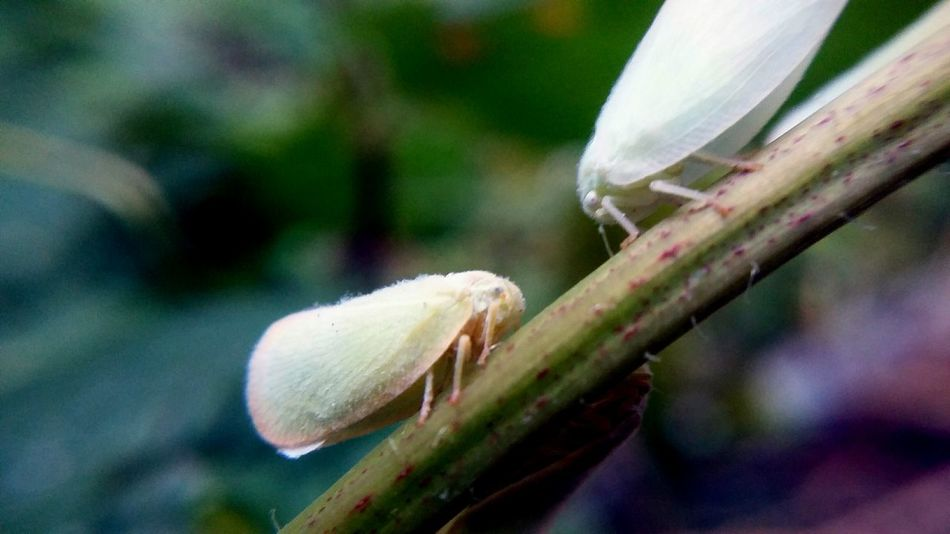 A colony of these things just attacked me. Lol Leaf Bug Insects  Love Bugs Nature Nature Photography Macro Macro Photography Macro Nature