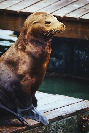 Sea Lions Pier 39 Animal Photography EyeEm Animal Lover The Portraitist - 2015 EyeEm Awards Getting Inspired Open Edit