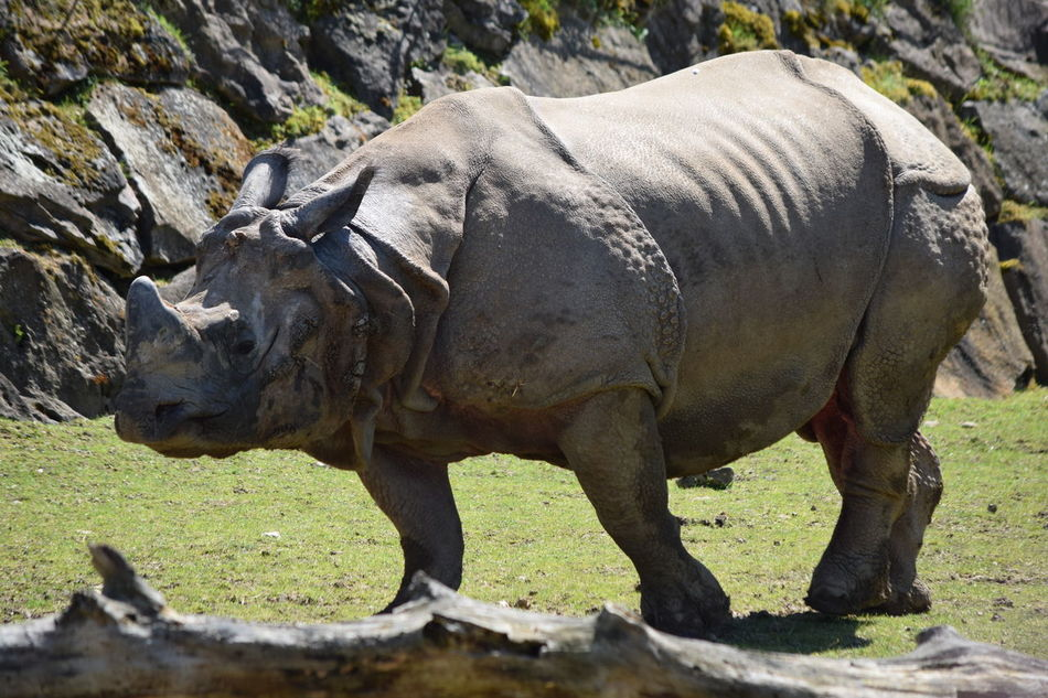Rhinocéros indien Animal Themes Animal Wildlife Animals In The Wild Close-up Day Full Length Grass Indian Rhinoceros Mammal Nature No People One Animal Outdoors Rhinoceros Rhinoceros Unicornis Rhinocéros Indien Safari Animals Standing
