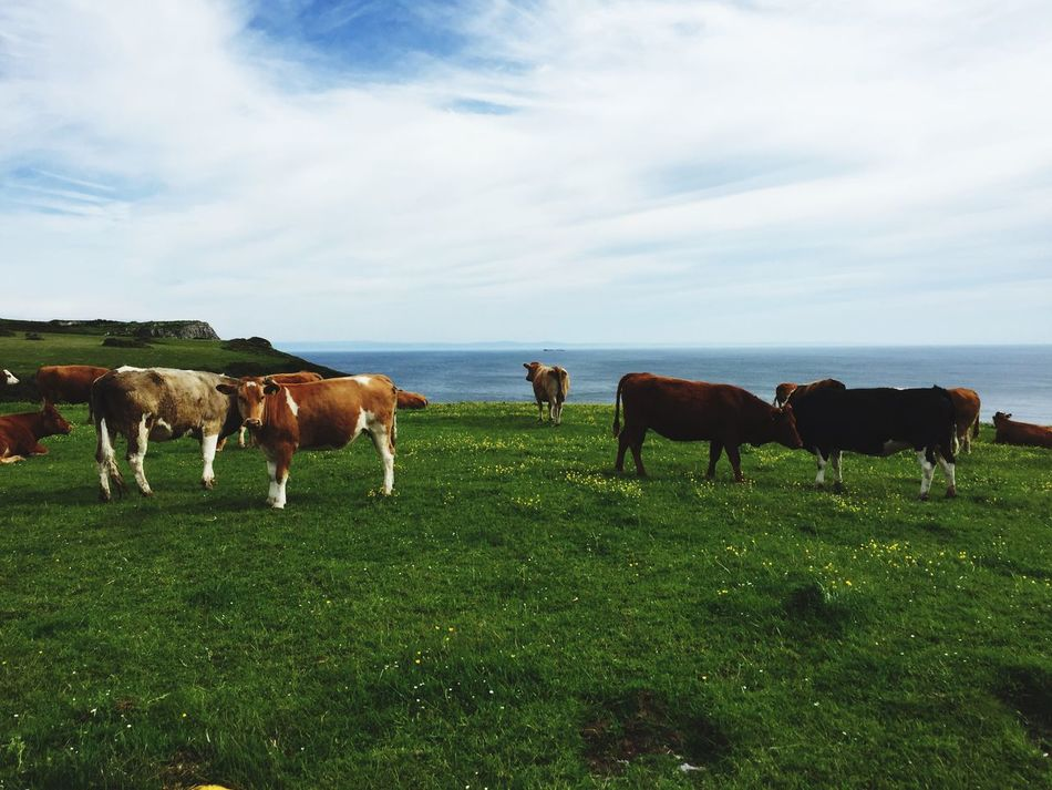 Looking Out To Sea. Cows Cows In The Feilds Cows Grazing Sea Gowercoast