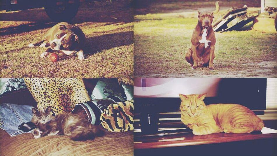 Lovemyfurbabies Pitbulllove Dogs Cats