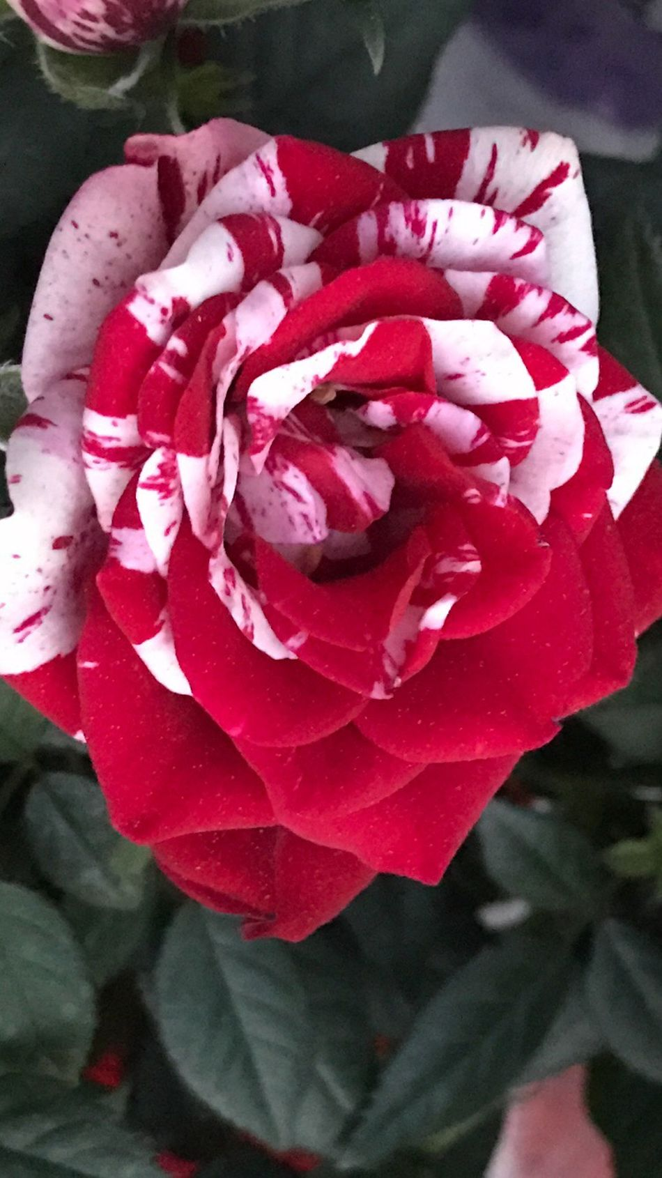 Flower Petal Nature Rose - Flower Fragility Beauty In Nature Flower Head Freshness No People Close-up Pink Color Plant Day Growth Rose Petals Outdoors Red Blooming Red Rose Blossom Freshness Photography Flowers Blooming Flowers My Garden @my Home Beauty Of Nature