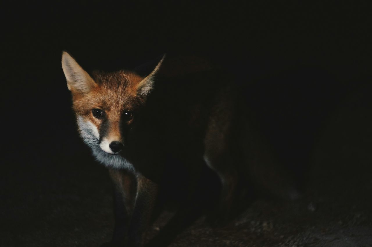 Fox Wildlife Night Animal Portrait Bulgaria Learn & Shoot: Single Light Source Overnight Success