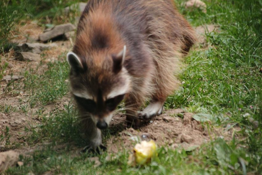 Flash the little raccoon One Animal Grass Animal Themes Mammal Domestic Cat Outdoors Day Animal Wildlife Nature No People Raccoon Animals In The Wild Domestic Animals Fox Pets Close-up Beauty In Nature Sauerland Nature Young Animal