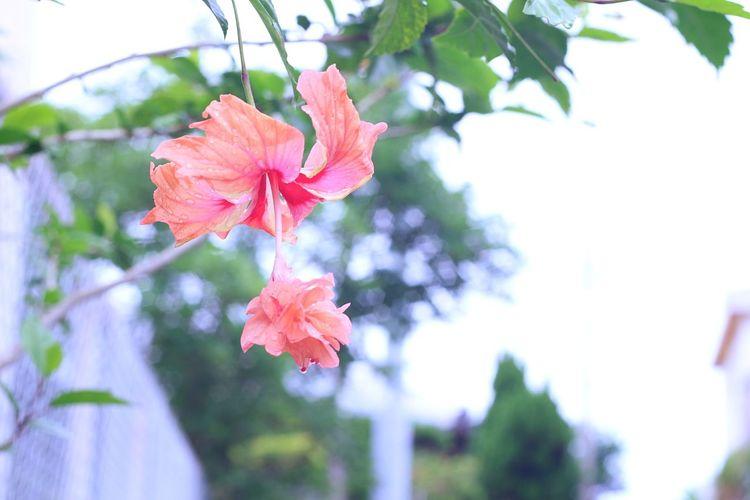 Hibiscus Pink Color Leaf Flower Day Nature Outdoors Beauty In Nature Tropical Springtime Growth Tree Branch No People Close-up Flower Head Fragility Sky Okinawa Oreston Oreston 1.8/50 Oldlens Vintage Lens Meyer-Optik-Görlitz Oreston 50mm F1.8