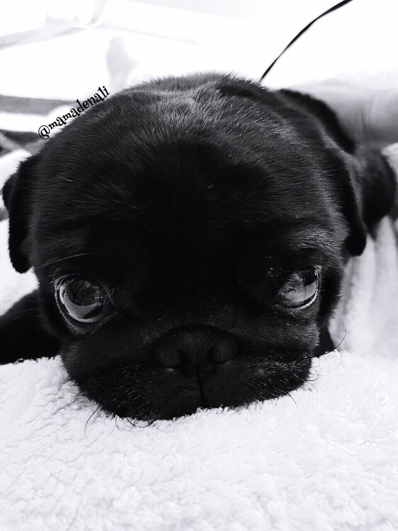 Domestic Animals Dog Mammal Animal Themes Pets One Animal Indoors  Close-up No People Portrait Looking At Camera Bed Day Dogslife Pug Puglover Puglife
