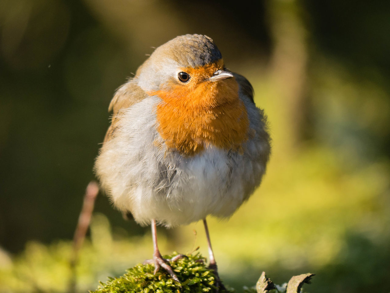 Animal Themes Animal Wildlife Animals In The Wild Bird Close-up Day Focus On Foreground Nature No People One Animal Outdoors Perching Robin Rotkehlchen