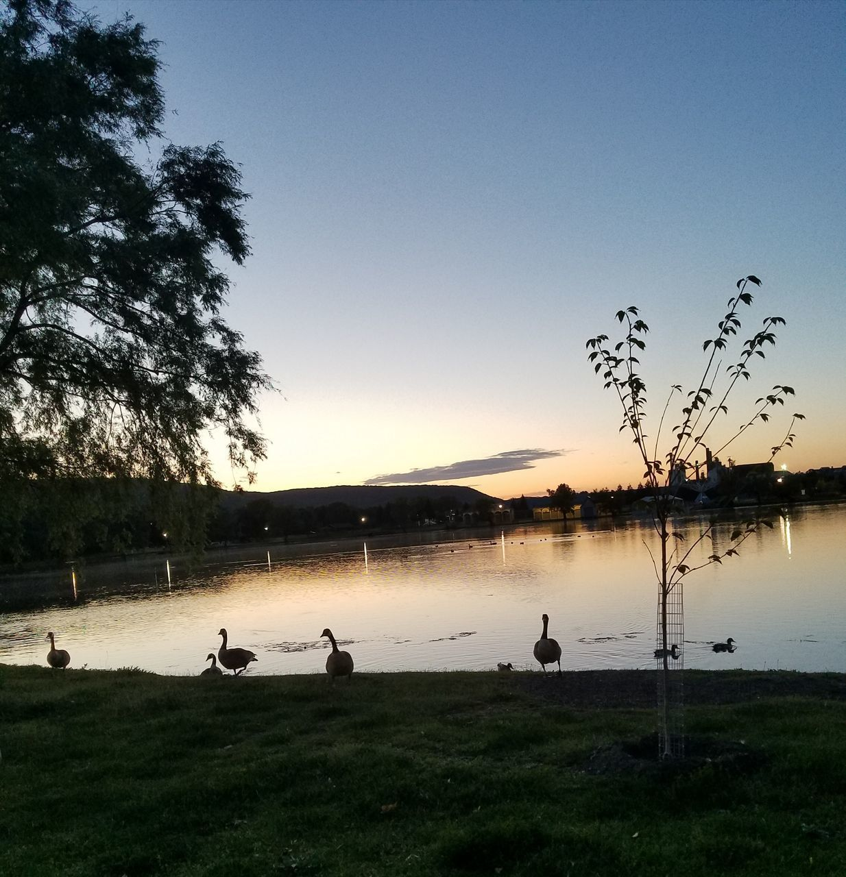 lake, bird, water, animals in the wild, nature, tree, animal themes, silhouette, grass, tranquil scene, beauty in nature, lakeshore, scenics, outdoors, reflection, animal wildlife, sunset, sky, tranquility, clear sky, large group of animals, real people, day