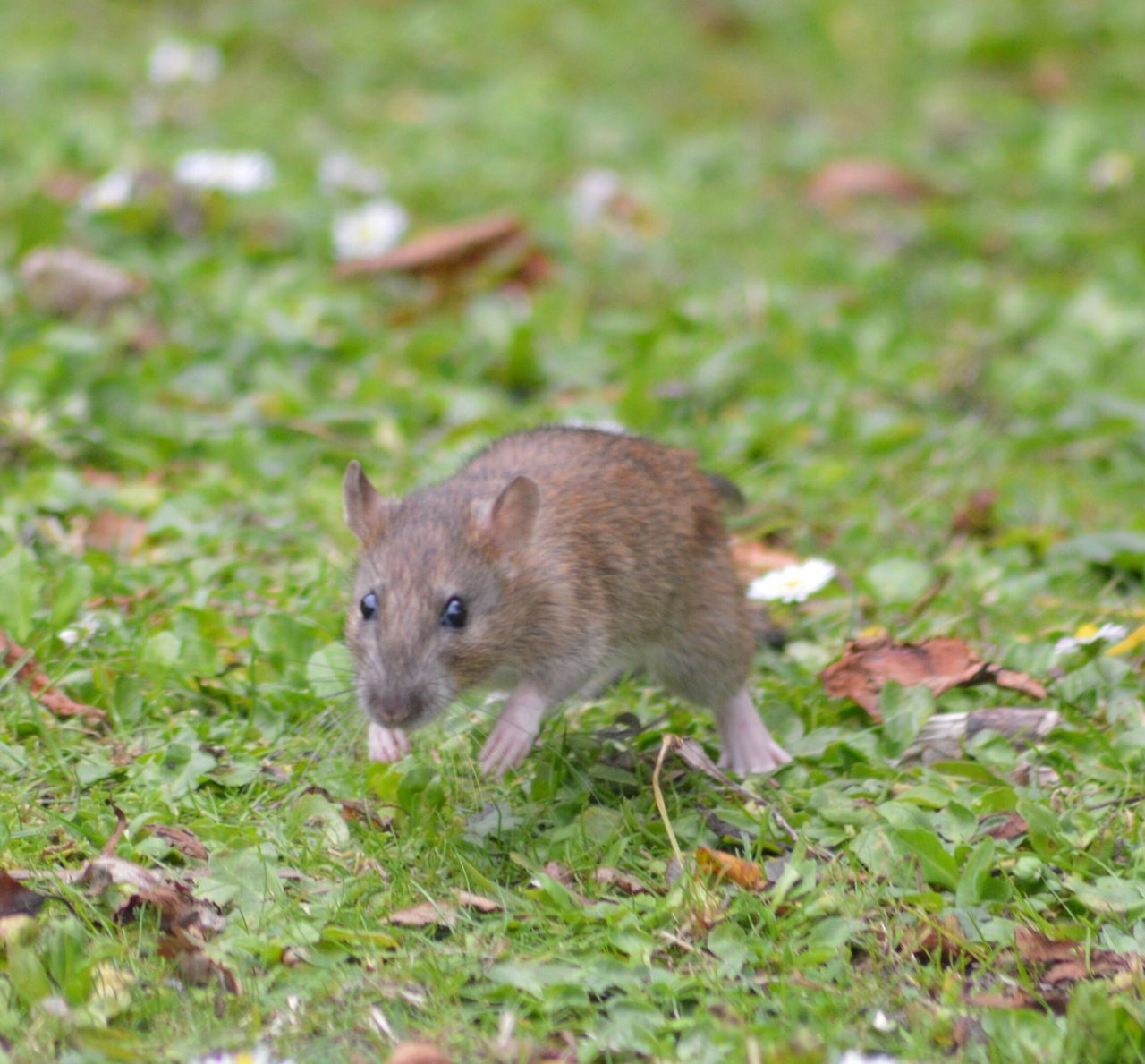 Beautiful stock photos of mouse, Animal Themes, Animals In The Wild, Day, Field